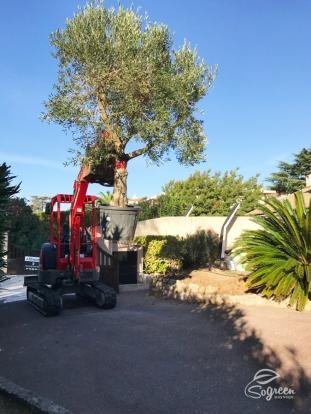 Plantation_Olivier_Paysagiste_Saint-Raphael_SoGreen